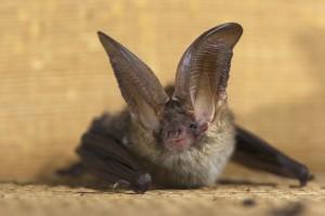Rabid bat in Homer Glen, IL