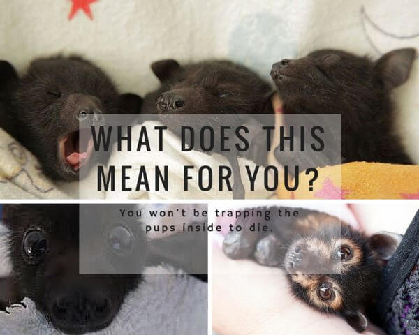 Bat pups can fly by September