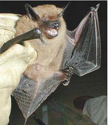 Idaho Bats - Big Brown Bat