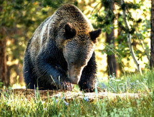 Get-Bats-Out-Wyoming-grizzly-bear