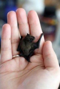 Fun bat facts - Bumblebee Bat