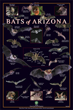 Bat removal in Phoenix, Arizona