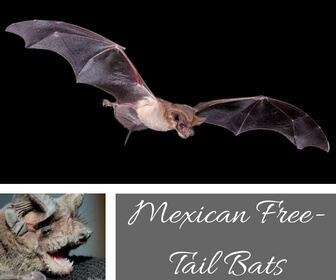 Mexican Free-Tail Bats
