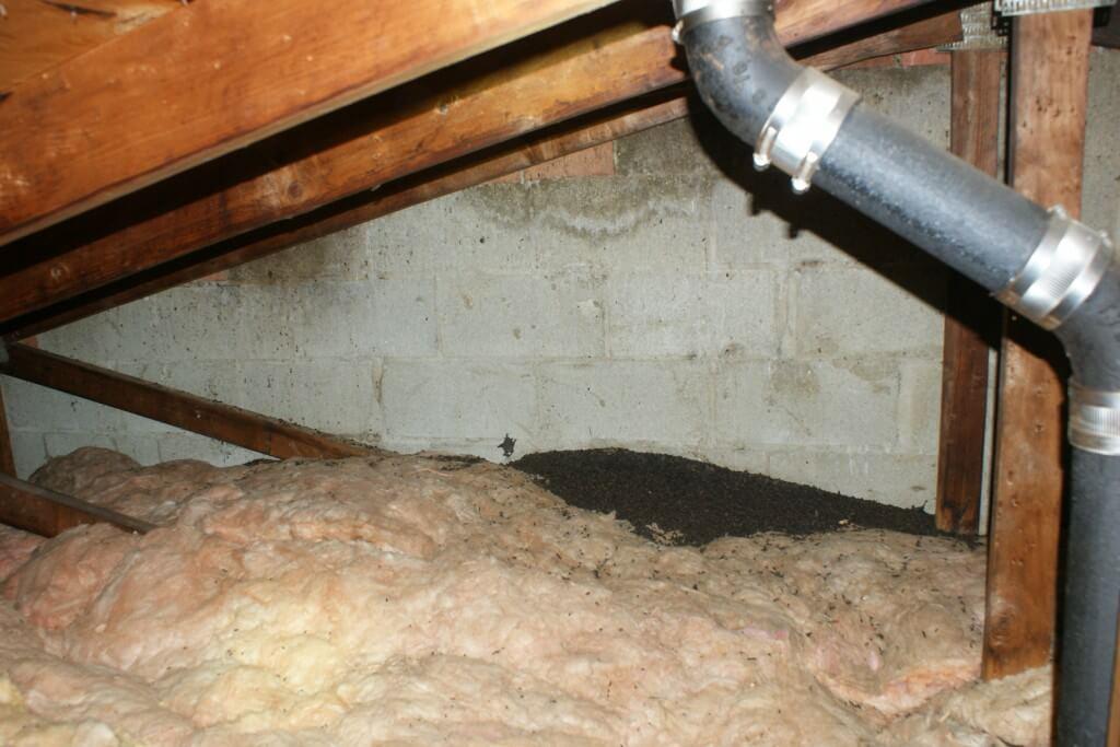 Bat feces in attic
