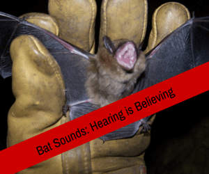 Bat Sounds Hearing Is Believing