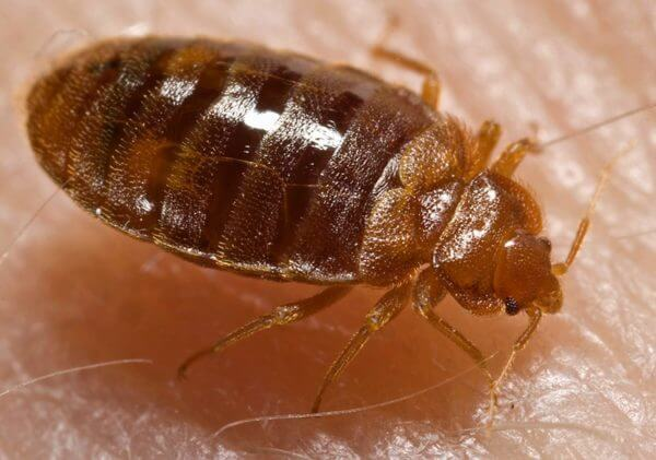 Bed Bugs Or Bat Bugs? - Get Bats Out - Bat Removal Experts Dig Out Bat Cost on looking out, drive out, digging out, powers out, your out,