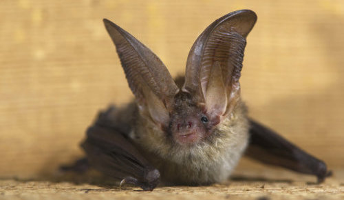 long ear bat