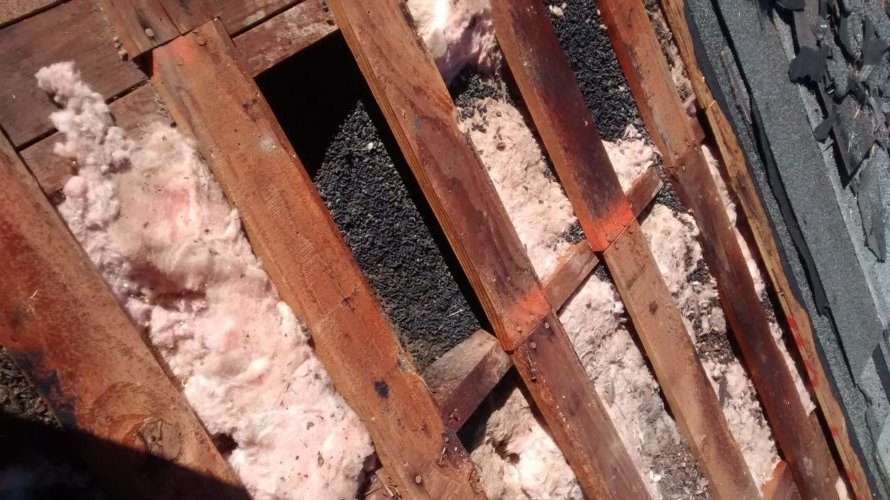 Damaged insulation with piles of guano from bats living under the roof shingles