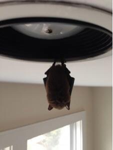 a bat hangs from a ceiling light fixture