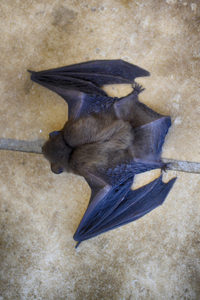 a live bat found during a bat exclusion