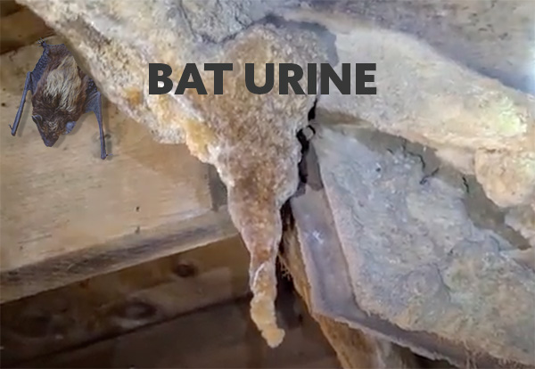 calcified bat urine in attic of home