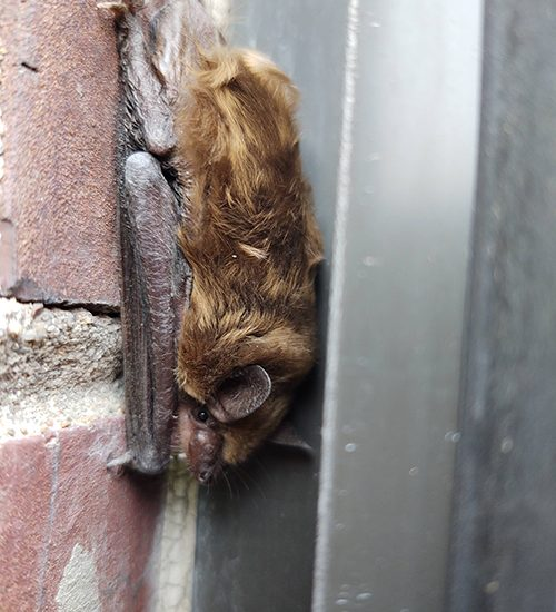 bat attached to bricks on the outside of a house