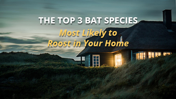 top three bat species most likely to live in your home