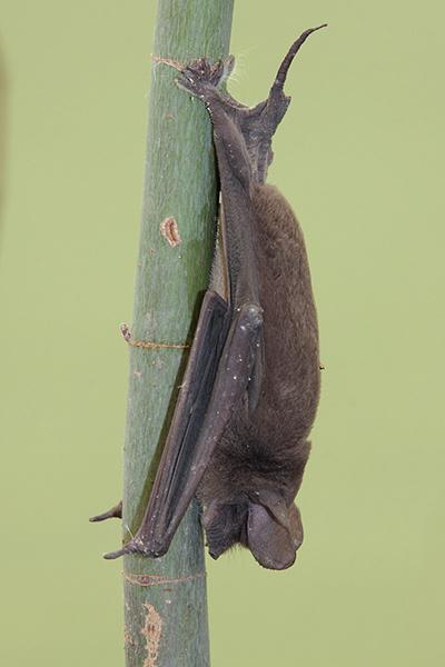 mexican freetail bat