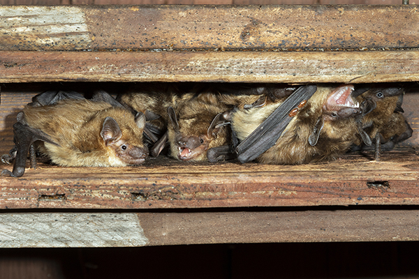 big brown bat colony in an attic above a house