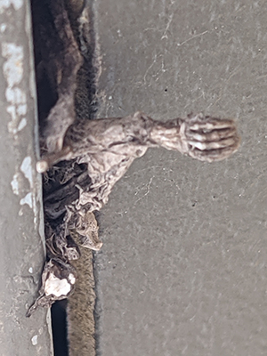 a dead bat decompossing after becoming trapped in a home due to an incorrect bat removal