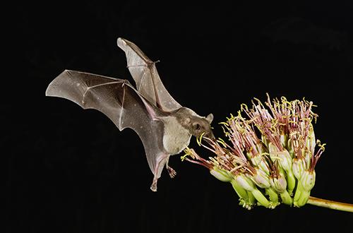 a bat feeding off of a flower in the arizona desert while still flying