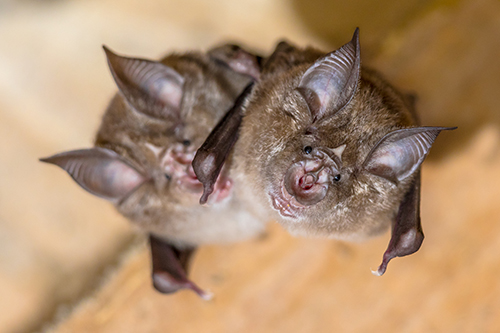 Two Horseshoe bats hanging upside down on a beam in an attic